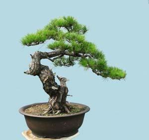 Kỹ thuật tạo hình và chăm sóc cây cảnh Bonsai